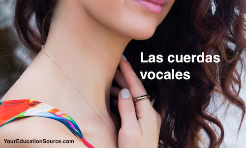 Las cuerdas vocales Verbos Regulares Your Education Source